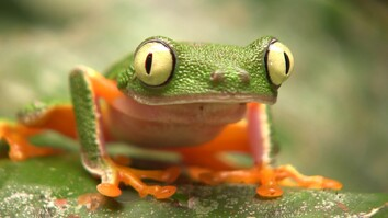 These Frogs Are in Trouble—Can Selling Them Help?