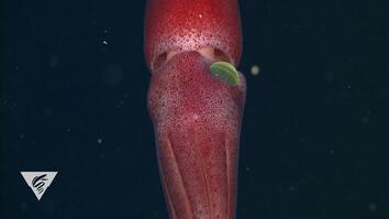 Meet a Squid With One Weird Eye