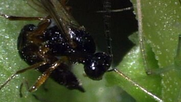 Parasitic Wasps & Aphids