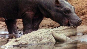 Harmonious Hippos and Crocs