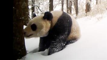 This Captive-Born Panda Just Made a Breakthrough in the Wild