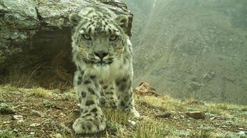 Climbing Mountains and Combating Poachers to Save Snow Leopards