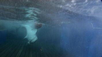Three Meter Tiger Shark