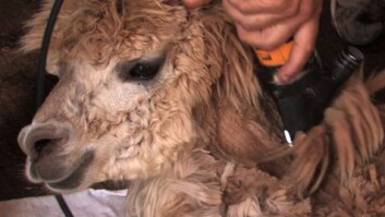 Alpacas to Help Fight Gulf Spill?