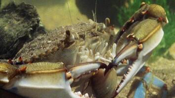 Blue Crab vs. Clam