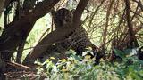 Jaguar Mating