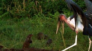 Stork vs. Mongoose