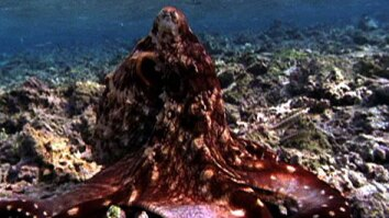 Octopus Changes Color and Hunts