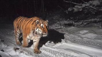 Protecting the Siberian Tiger's Last Home