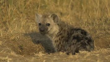 Hyenas: These Top Predators Are No Laughing Matter
