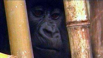 Gorilla Rescue