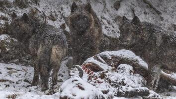 A Man Among Wolves: Photographing Yellowstone's Iconic Predators
