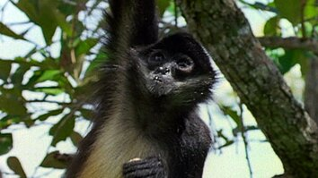 The Leisurely Life of Spider Monkeys