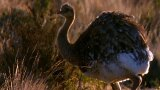 Raising Rheas