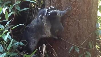Baby Raccoon Tries to Climb Tree With Mom's Help