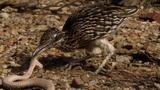 Roadrunner vs. Rattlesnake