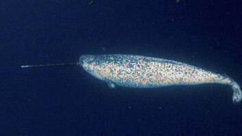 World's Weirdest: Narwhals