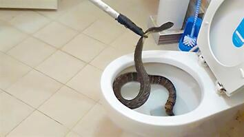 This Snake in a Toilet is a Bathroom Nightmare Come True