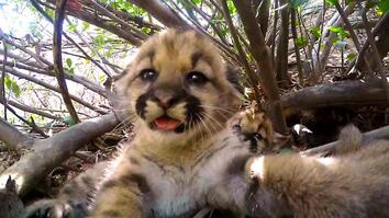 Cute Mountain Lion Kittens