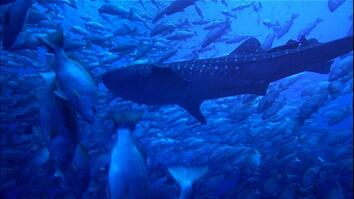 Why Whale Sharks Wait For This Full Moon Feast