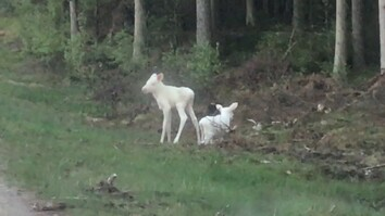 Watch: Rare White Moose Twins Caught on Camera