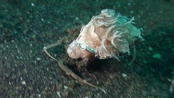 Watch a Crab Kidnap a Sea Slug to Avoid Being Eaten