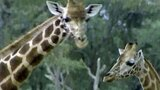 Lives of Giraffes
