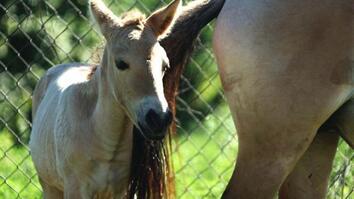 Endangered Horse Birth Breakthrough