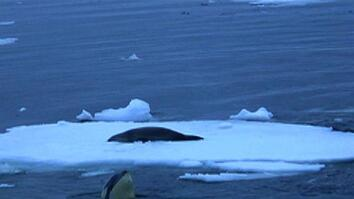 "Killer Whales ""Gang Up"" to Capture Seal"