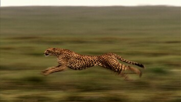 Cause an Uproar - Cheetahs