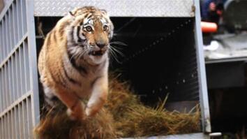 Amazing Slow-Mo: Rare Tiger Released Into Wild