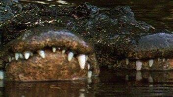 Gator Water Dance