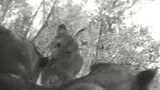 Crittercam POV: Lion Cubs & Mom