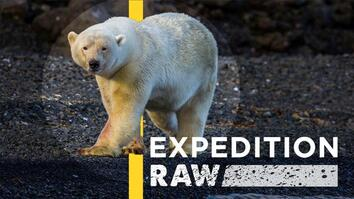 Watch: Polar Bear Charges Nat Geo Photographers