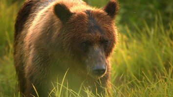 A Cameraman's Wild Encounter With Bears in Alaska