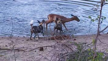 Rare Video: Wild Dogs Take Down Impala