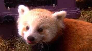 Red Panda Growing Pains
