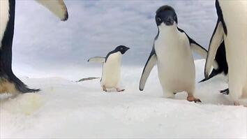 Adélie Penguin Numbers Have Marched Upward—But Should We Be Happy?