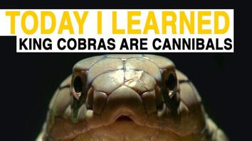 TIL: King Cobras Are Cannibals