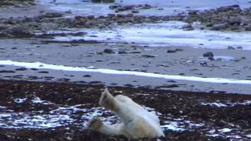 Polar Bear Cam: Sleep