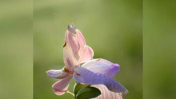 Insect or Flower? This Bug is a Master of Deception