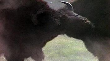 Bison Headbutting