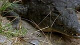 Monitor Lizard Hunt