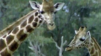 Lives of Giraffes