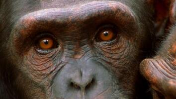 Killers Like Us: Chimpanzees