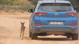 Lost Baby Wildebeest Mistakes Car for Mom