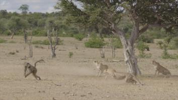 Baboon VS Cheetah