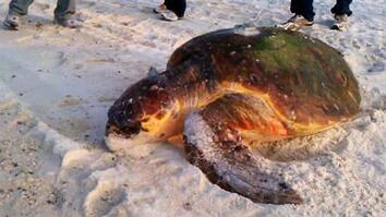 Gulf Turtle Nests Abound, But Worries Remain