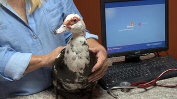 Dr. K's Exotic Animal ER: Little Orphaned Duck