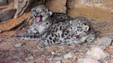 Rare Video Spots Endangered Snow Leopard Cubs in the Wild